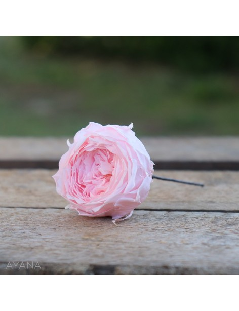 Pic-rose-anglaise-fleurs-eternelles