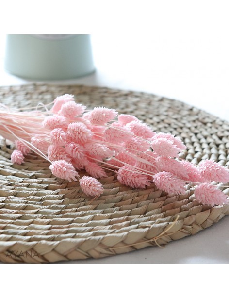Bunch of dried pink phalaris